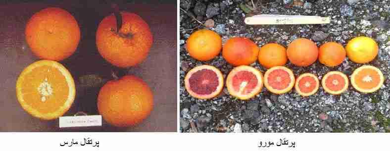 ( پرتقال مورو (Moro) ) - ( پرتقال مارس  (Marss) )