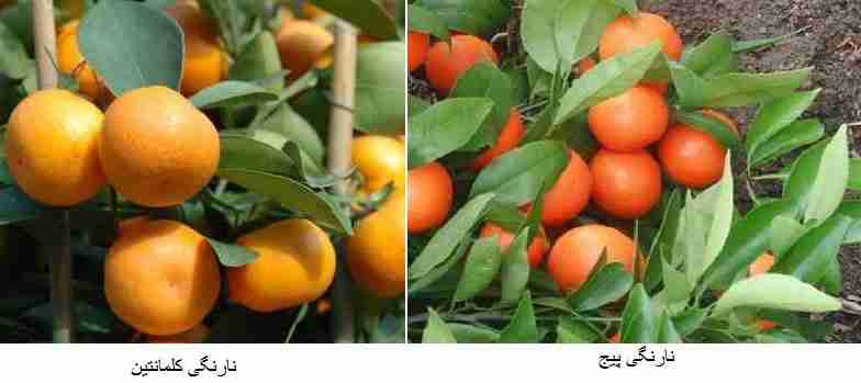 ( نارنگی کلمانتین (Clementine) ) - ( نارنگی پیج (Page) )