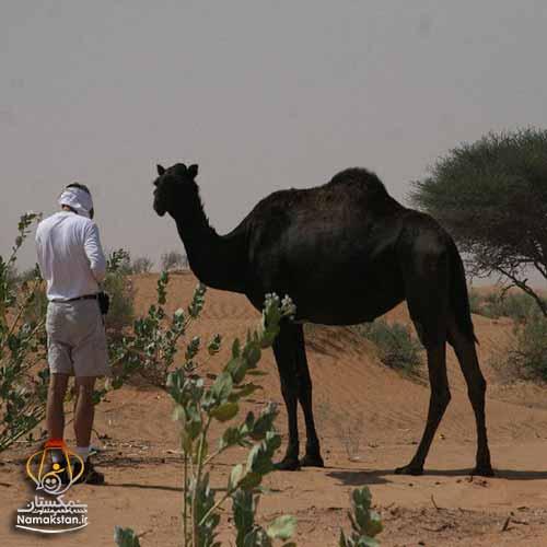 [عکس: camel_beautiful_world_photos_namakstan_ir_2.jpg]