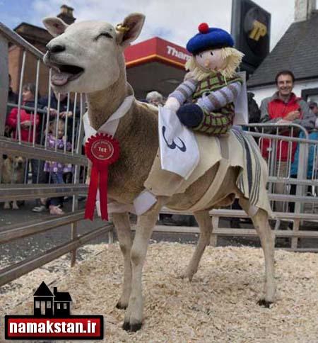 [عکس: Scottish_sheep_Race_photos_4.jpg]