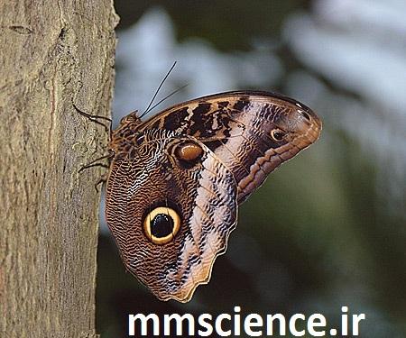 پروانه دارای چشم بر روی بال
