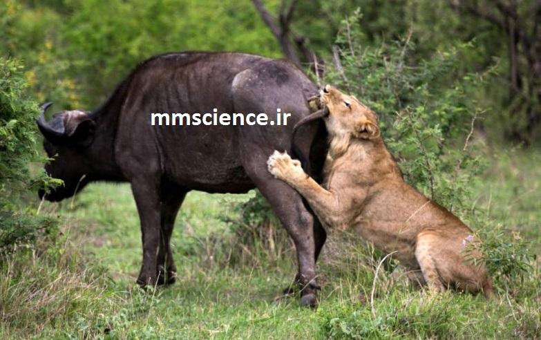 شکار شدن بوفالو توسط شیر