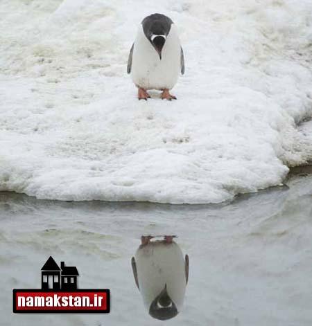 [عکس: Penguin_Narcissistic_Photo_2.jpg]