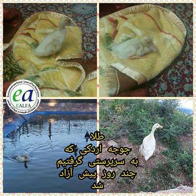 بازگشت اردک نجات یافته