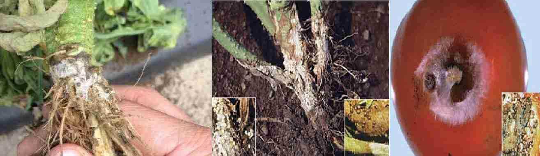 پوسیدگی ساقه، طوقه و ریشه (Sclerotium disease)