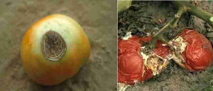 پوسیدگی میوه با قارچ (Rhizoctonia fruit rot)