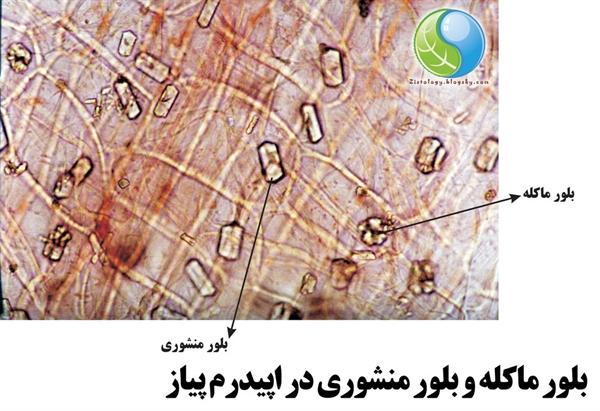 تصویر میکروسکوپی بلور ماکله و بلور منشوری در بشره پیاز
