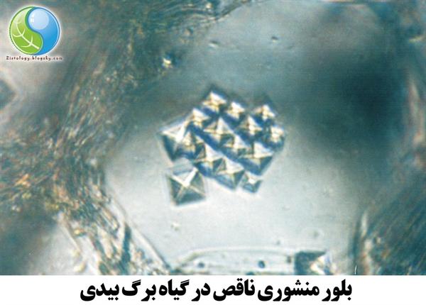 تصویر میکروسکوپی بلور منشوری ناقص در گیاه برگ بیدی