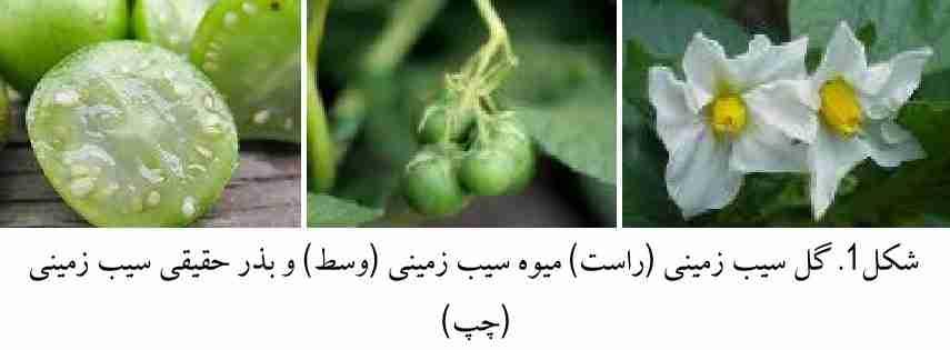 گل - میوه و بذر حقیقی سیب زمینی