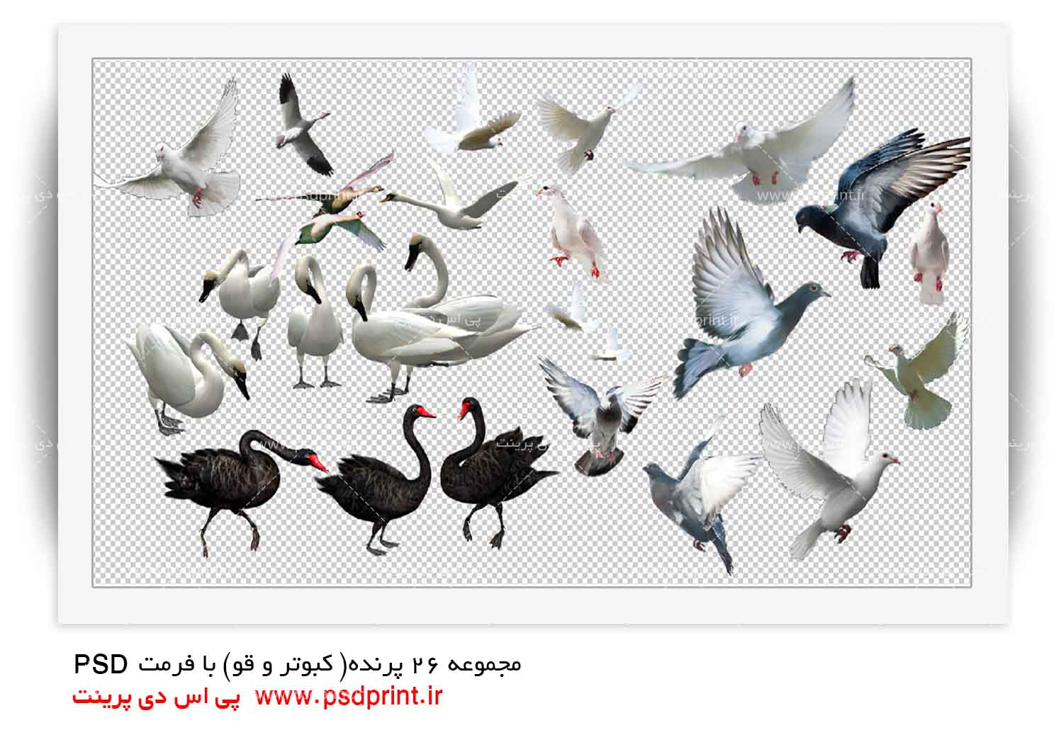 کبوتر+png