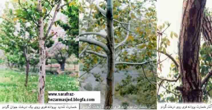 آثار خسارت کرم خراط بر روی تنه درخت