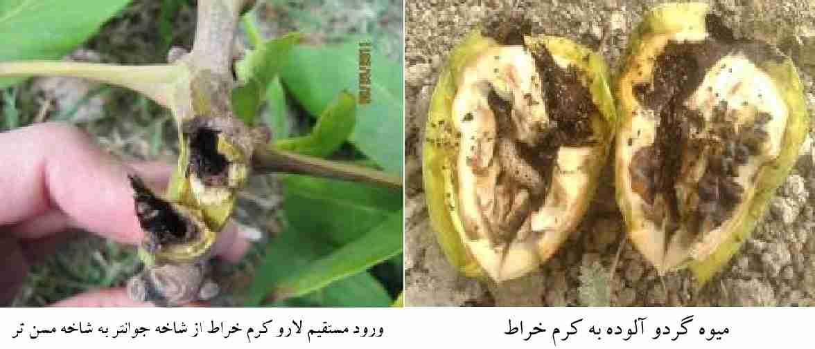 آثار خسارت کرم خراط روی میوه گردو