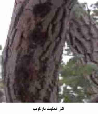 آثار فعالیت دارکوب در روی درختان آلوده به کرم خراط