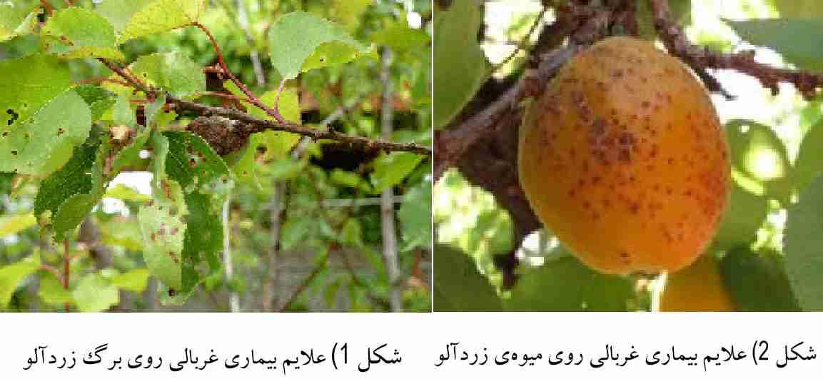 علایم بیماری غربالی زرد آلو (  Wilsonomyces carpophilus   )