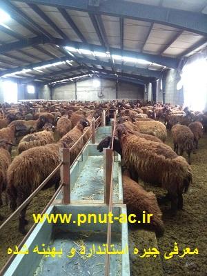پرورش گوسفند و بره به شکل پرواربندی