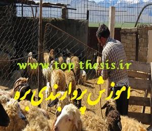جیره مناسب پرواربندی گوسفند