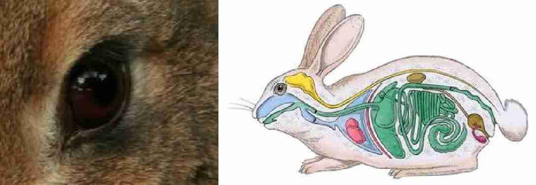 آناتومی و مورفولوژی ( کالبدشناسی و ریخت شناسی ) خرگوش