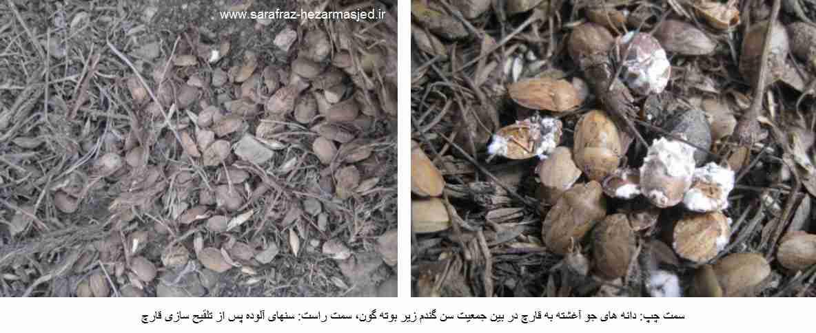 سمت چپ: دانه های جو آغشته به قارچ در بین جمعیت سن گندم زیر بوته گون، سمت راست: سنهای آلوده پس از تلقیح سازی قارچ