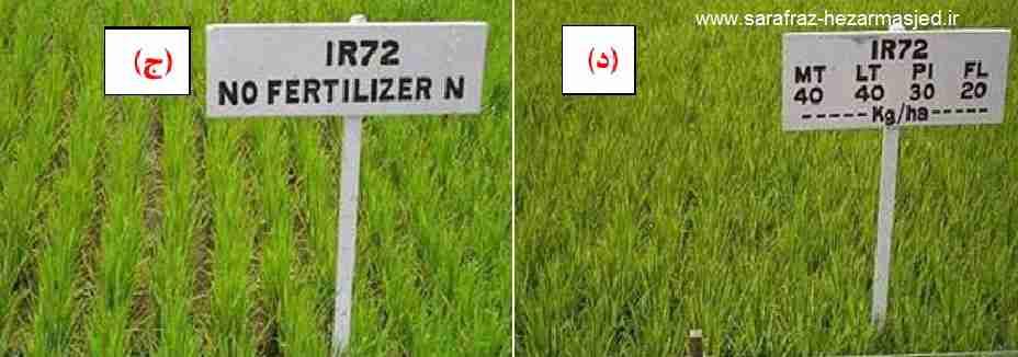 علایم کمبود کود نیتروژن در برنج و کاهش در تعداد پنجه برنج
