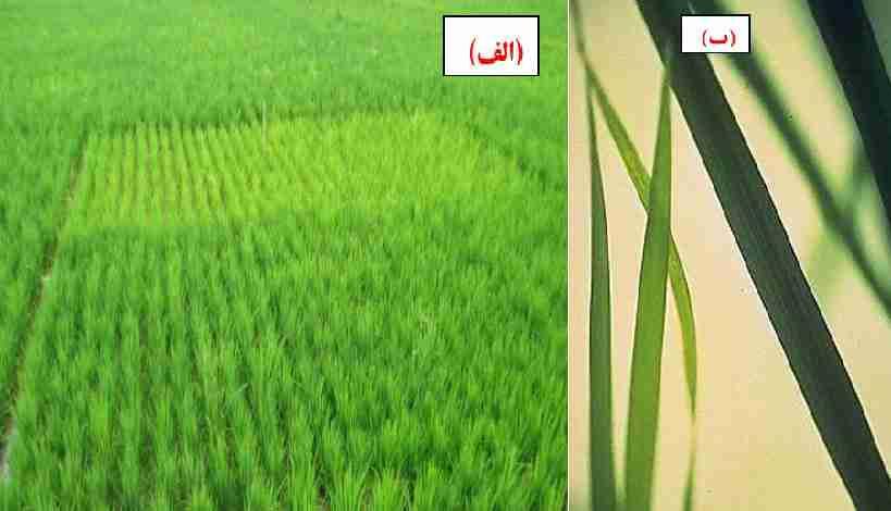 علایم ظاهری کمبود نیتروژن در گیاه برنج