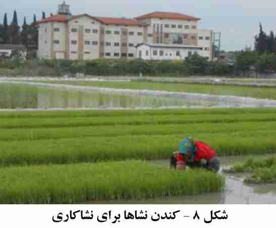 نحوه صحیح خارج کردن نشا برنج و انتقال آن به زمین اصلی