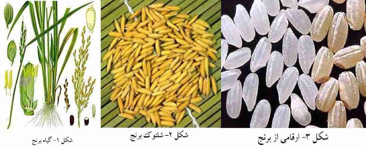 گیاه شناسی برنج و نمای ظاهری شلتوک برنج و بعضی ارقام برنج