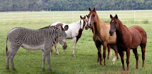 گورخر و اسب ها – The Zebra and the Horses