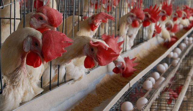 تخم نطفه دار نژاد دورگه جهادی تخم گذار