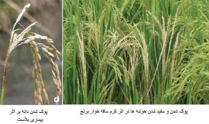 سفید شدن خوشه و دانه برنج در اثر ابتلا به بیماری بلاست برنج و کرم ساقه خوار برنج