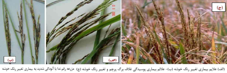 بیماری تغییر رنگ خوشه برنج