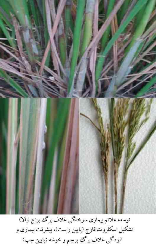 علایم بیماری سوختگی غلاف برنج یا شیت بلایت