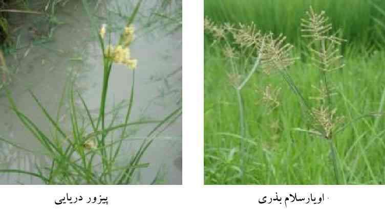 دو نمونه جگن در شالیزار به نامهای اویارسلام بذری و پیزور دریایی