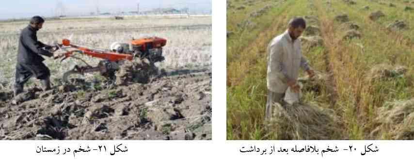شخم زمین شالیزار به منظور کاهش کرم ساقه خوار برنج
