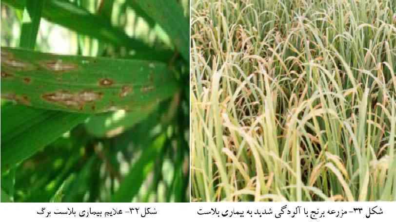علایم خسارت و آلودگی شالیزار به بیماری بلاست برنج