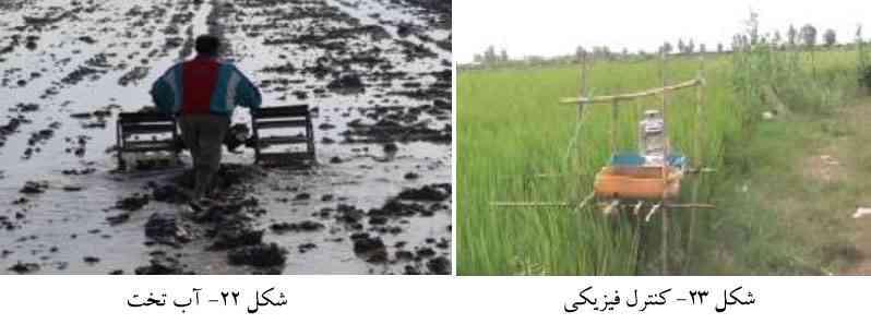 آب تخت کردن زمین به منظور مبارزه با کرم ساقه خوار برنج