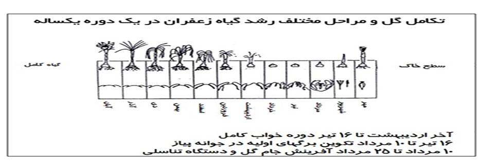 مراحل مختلف رشد گیاه زعفران