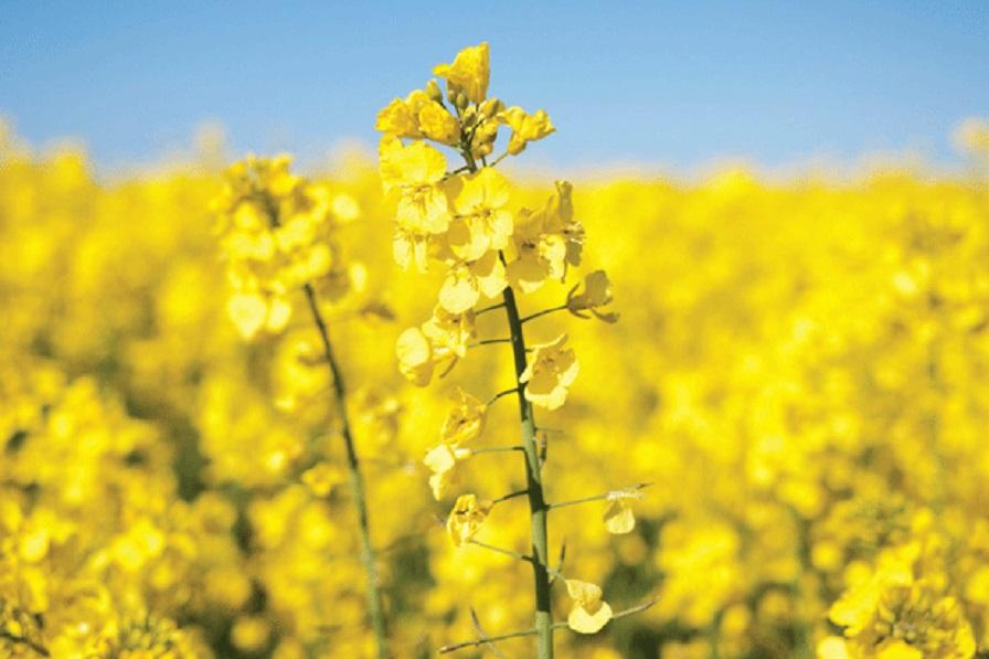 دانلود پایان نامه بررسی امکان تولید گیاهان هاپلوئید از طریق کشت میکروسپور در گیاه کلزا