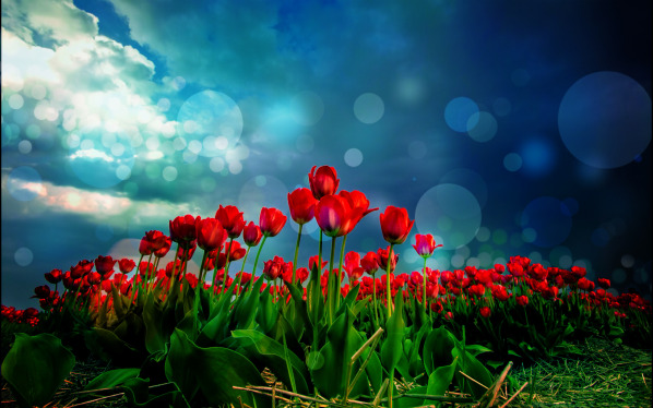 http://s9.picofile.com/file/8306068792/red_tulips_and_bokeh_600x374.jpg