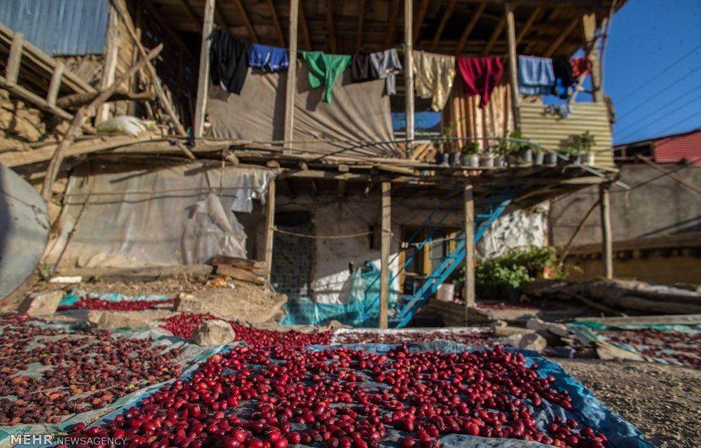 روستای هیر پایتخت زغال اخته ایران