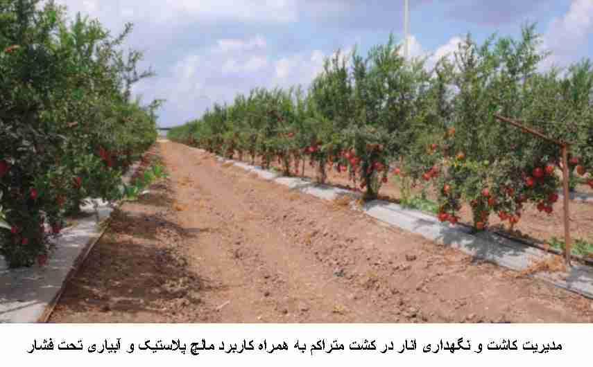 مدیریت کاشت و نگهداری انار در کشت متراکم به همراه مالچ پلاستیکی و آبیاری تحت فشار