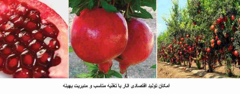 امکان تولید اقتصادی انار با تغذیه انار به صورت مناسب و مدیریت بهینه