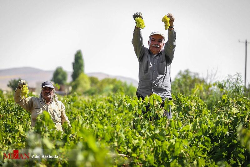 فصل برداشت انگور و تولید کشمش و سرکه