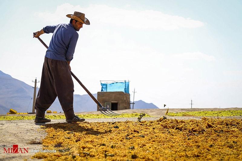 فصل برداشت انگور و تولید کشمش