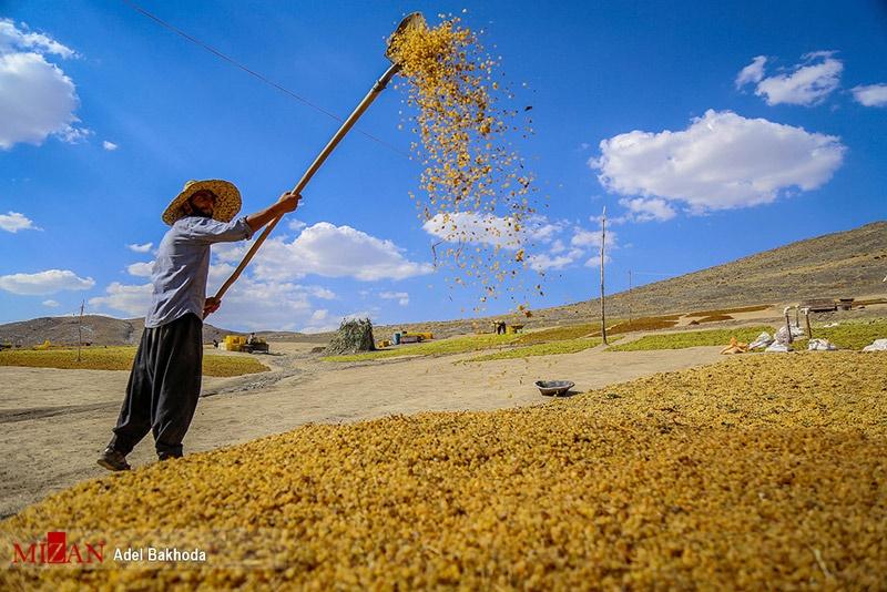 فصل برداشت انگور در همدان