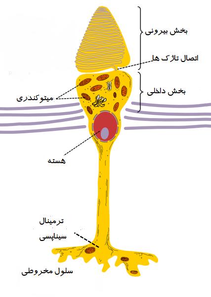 سلول مخروطی