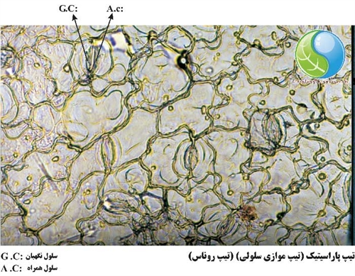 تیپ پاراسیتیک سلول نگهبان روزنه در روناس