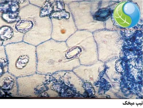 تصویر میکروسکوپی سلول نگهبان روزنه تیپ میخک