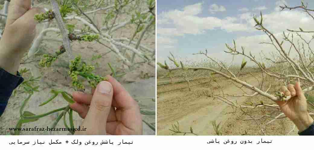 مقایسه درختان پسته تیمار شده با روغن ولک و درخت شاهد