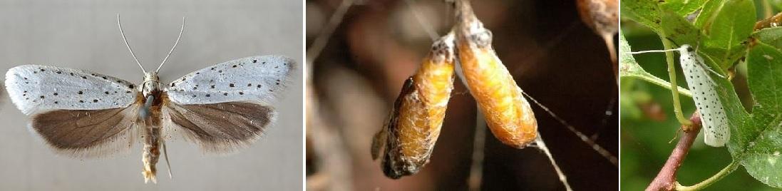 Hyponomeuta rorellus = Yponomeuta rorellus
