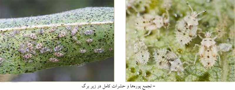 تجمع حشرات و پوره های سنین مختلف Monosteria unicostata در زیر برگ